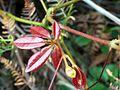 Cissus hypoglauca new red leaves.jpg