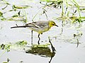 Citrine Wagtail female, Lynemouth Flash, Northumberland 4.jpg