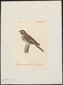 Citrinella pithyornus - 1842-1848 - Print - Iconographia Zoologica - Special Collections University of Amsterdam - UBA01 IZ16100259.tif