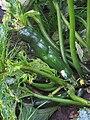 Cladosporium cucumerinum.jpg