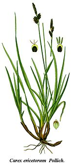 Cleaned-Illustration Carex ericetorum.jpg