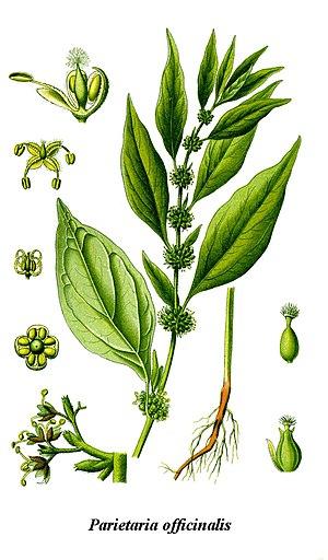 Parietaria officinalis - Image: Cleaned Illustration Parietaria officinalis
