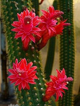 Cleistocactus samaipatanus 001