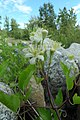 Clematis ligusticifolia male flowers.jpg