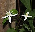 Clematis terniflora (flower).jpg