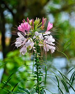 <i>Cleome</i> genus of plants