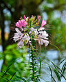 Cleome (Spider Flower) in Gavi.jpg