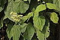 Clerodendrum infortunatum leaves and flowers DSC1650.jpg