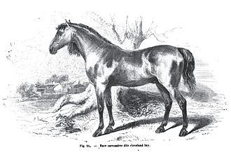 Cleveland Bay - A drawing of a Yorkshire Coach Horse