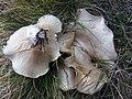 Clitopilus prunulus2.JPG