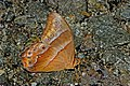 Close wing position of Lethe mekara Moore, 1857 – Common Red Forester (Male) WLB DSC 9972.jpg