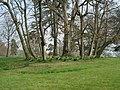 Clump of trees at Croft Castle - geograph.org.uk - 454230.jpg