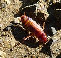 Cockroach - Flickr - gailhampshire.jpg