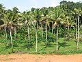 Coconut tree orchard.JPG