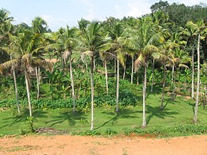 Kayamkulam - Coconut plantations