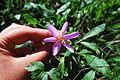 Colchium autumnale (8813954935).jpg