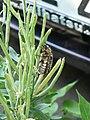 Coleoptera 1280200.JPG