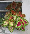 Coleus in the window.jpg
