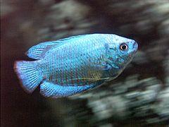 Colisa azul reproduccion asexual de las plantas