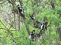 Colobuses in Murchison Falls National Park.JPG