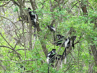Mantled guereza - Image: Colobuses in Murchison Falls National Park
