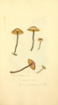 Coloured Figures of English Fungi or Mushrooms - t. 344.png