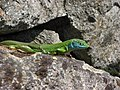 Colourful lizard - panoramio.jpg