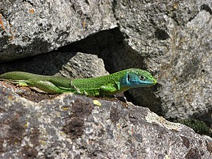 Fully - Green lizard