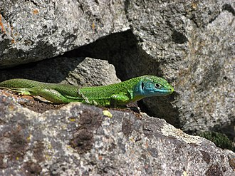 Fully - Green lizard