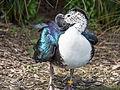 Comb duck (14191979579).jpg
