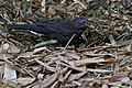 Common Blackbird (5038315999).jpg