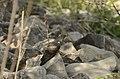 Common Cuckoo from Mordham Dam Nagpur JEG3643.jpg
