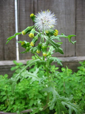 Senecio vulgaris - Image: Common Groundsel first fruits