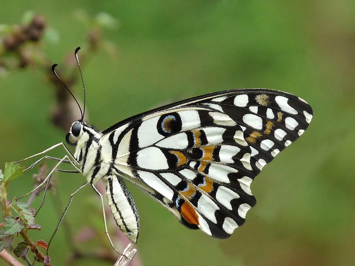 Papilio demoleus - Wikipedia