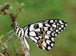 Common Lime Butterfly Papilio demoleus by Kadavoor.JPG