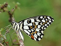 Common Lime Butterfly Papilio demoleus by Kadavoor