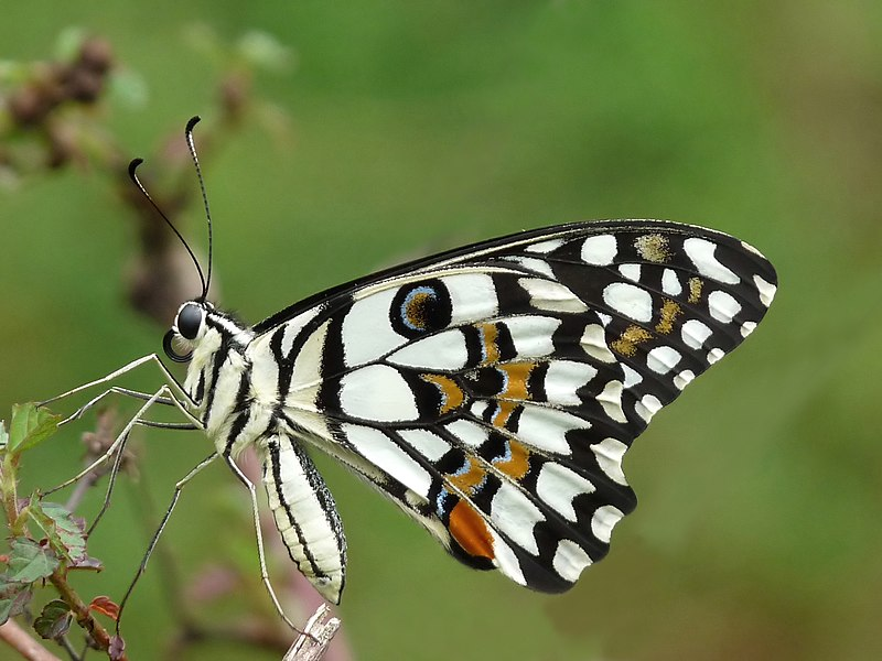 File:Common Lime Butterfly Papilio demoleus by Kadavoor.JPG