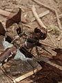 Common Whitetail (Plathemis lydia), Immature Male 03.jpg
