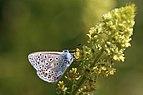 Common blue (Polyommatus icarus) male underside 3.jpg