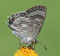 Common hairtail (Anthene definita definita).jpg