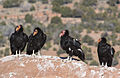 Condors on the Rise (15172567378).jpg