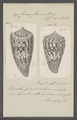 Conus janus - - Print - Iconographia Zoologica - Special Collections University of Amsterdam - UBAINV0274 085 10 0027.tif