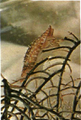 Conus moluccensis marielae.png