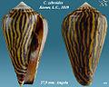 Conus zebroides 3.jpg
