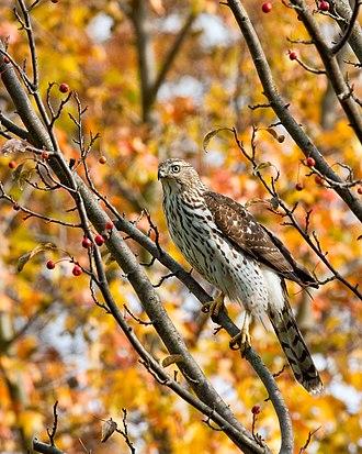 Cooper's hawk - Image: Cooper's hawk immature