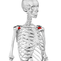 Coracoid process of scapula03.png