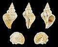 Coralliophila rubrococcinea 01.JPG