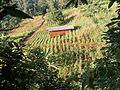 Corn farm.jpg