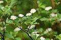 Cornus sericea sericea UL 02.jpg