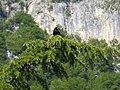 Corvus corone Martignano.jpg